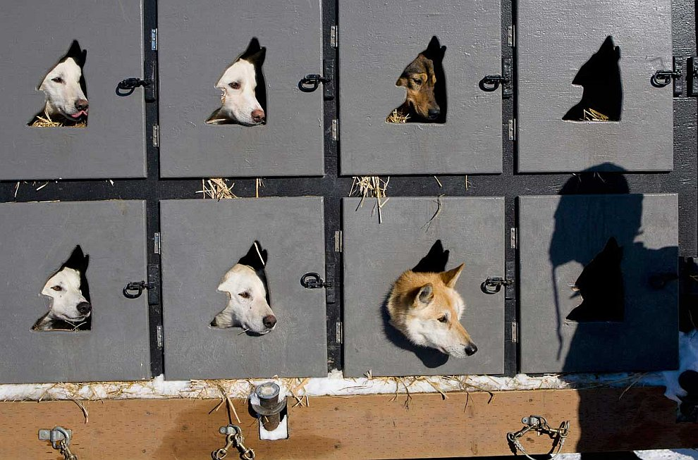 Гонка на собачьих упряжках Айдитарод 2012