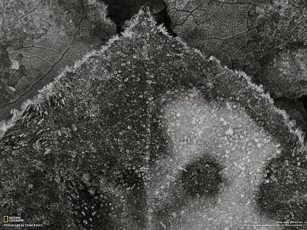 Замерзший осиновый лист