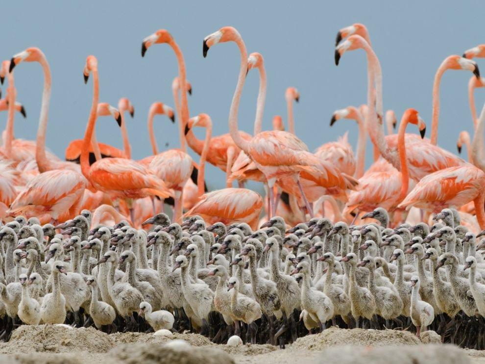 Фламинго и их птенцы