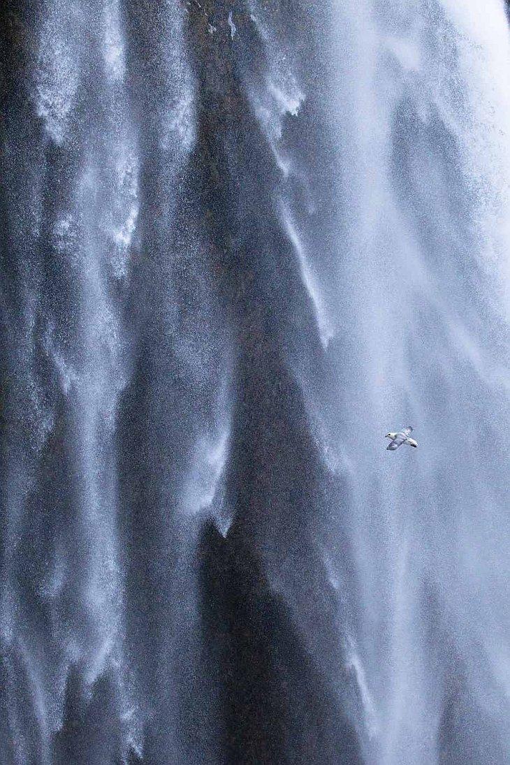 Fulmar boreal