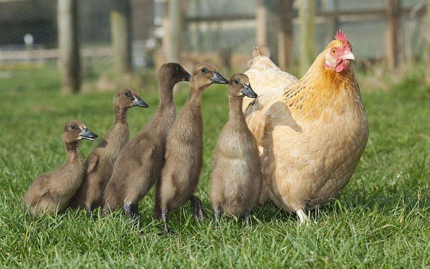 Куриная семья