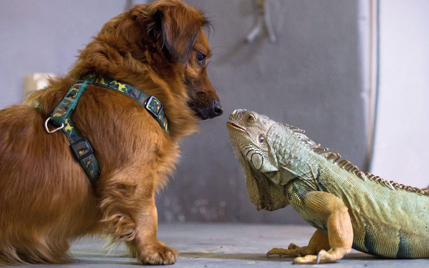 Такса Рэмбо и зеленая игуана Отто