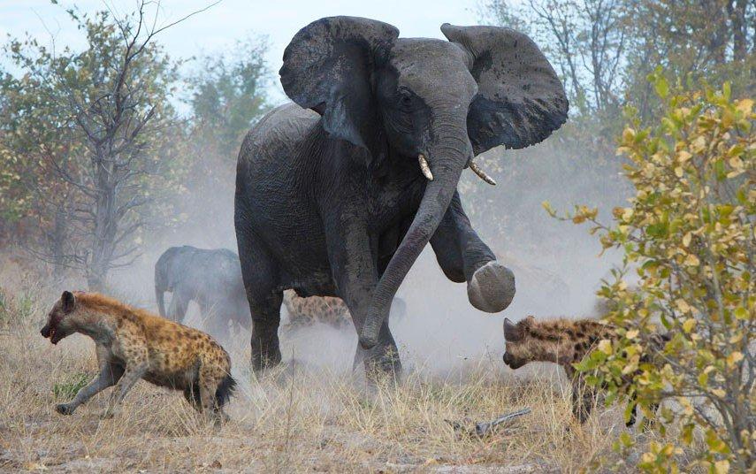 Гиены напали на маленького слоненка