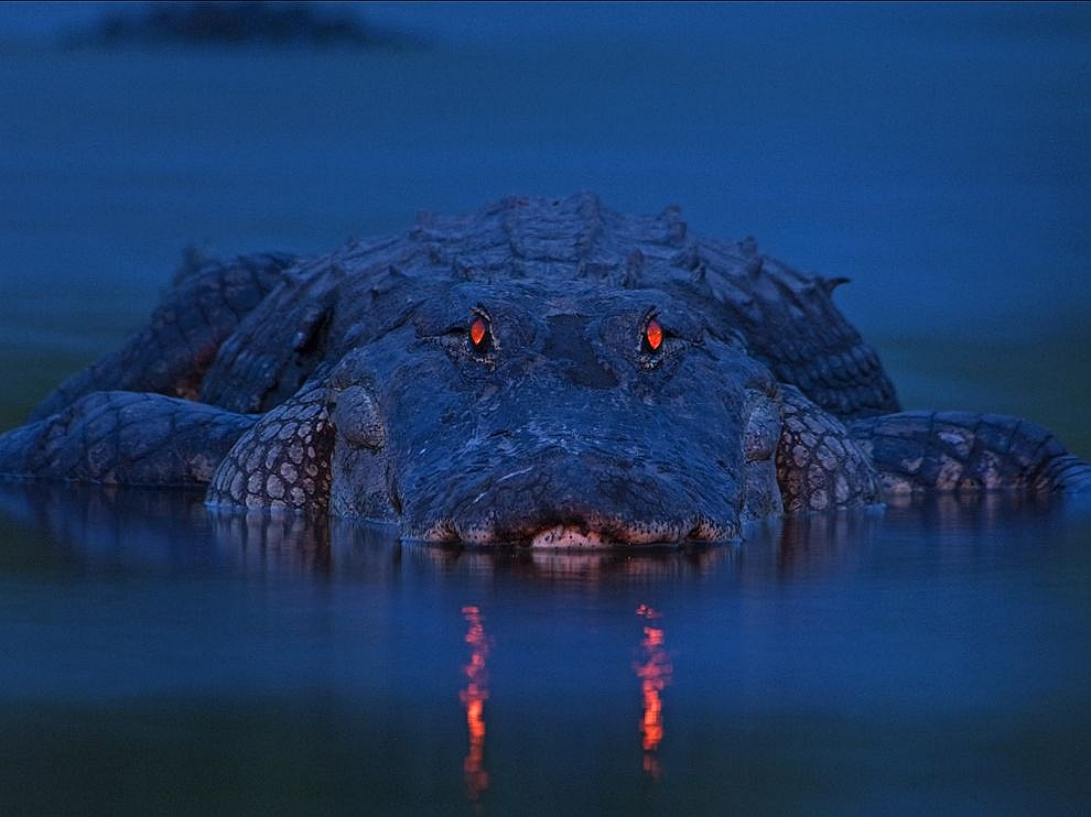 Аллигатор, Флорида