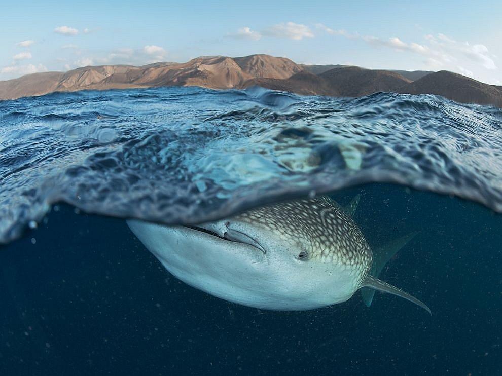 Китовая акула, Африка