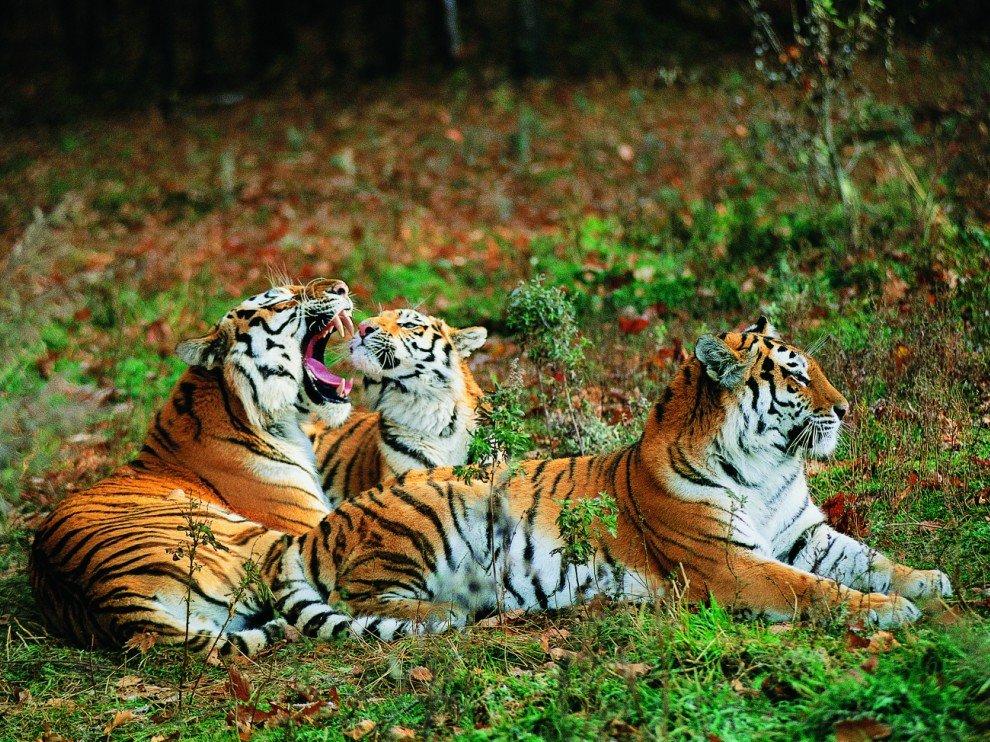 Амурские, или уссурийские, тигры