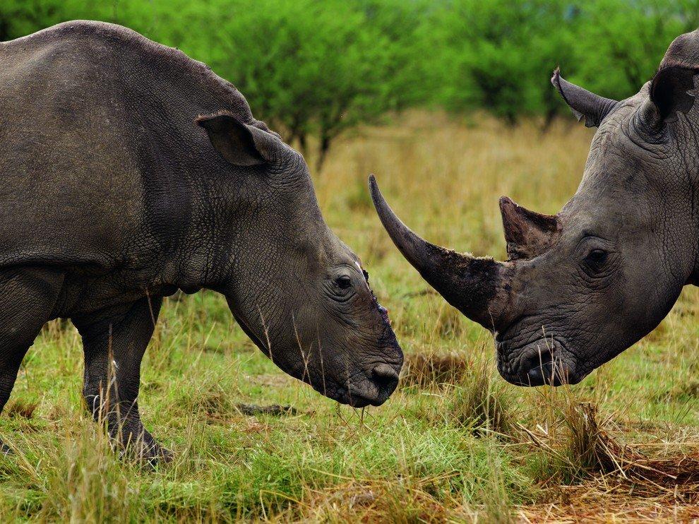 Носороги, ЮАР