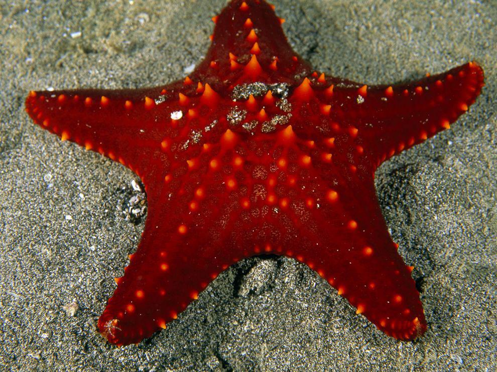 Красная морская звезда