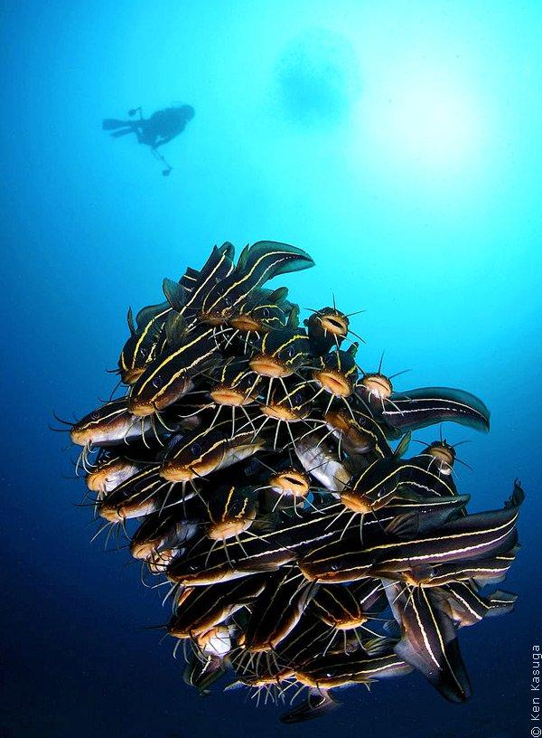 Танцы рифовых сомов