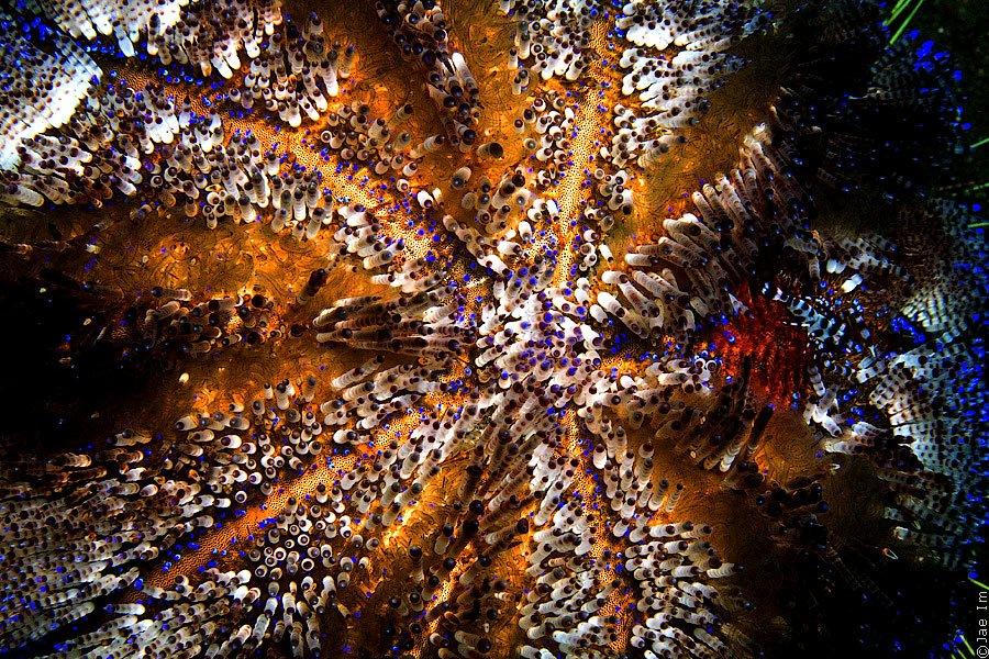 Огненный морской еж