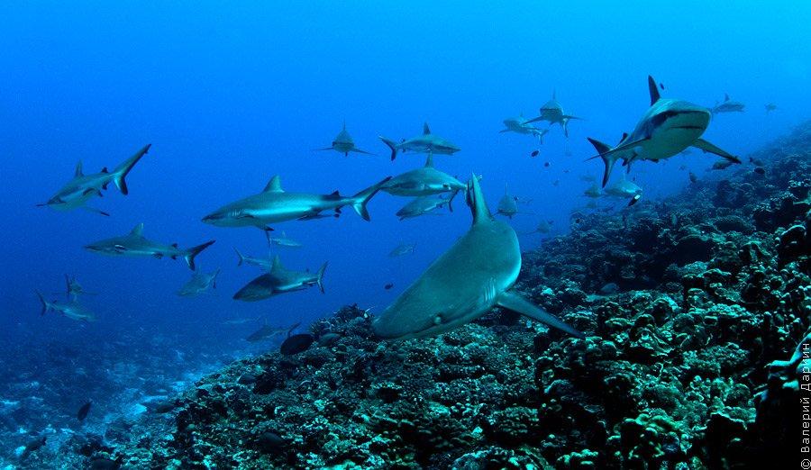 Серая рифая акула