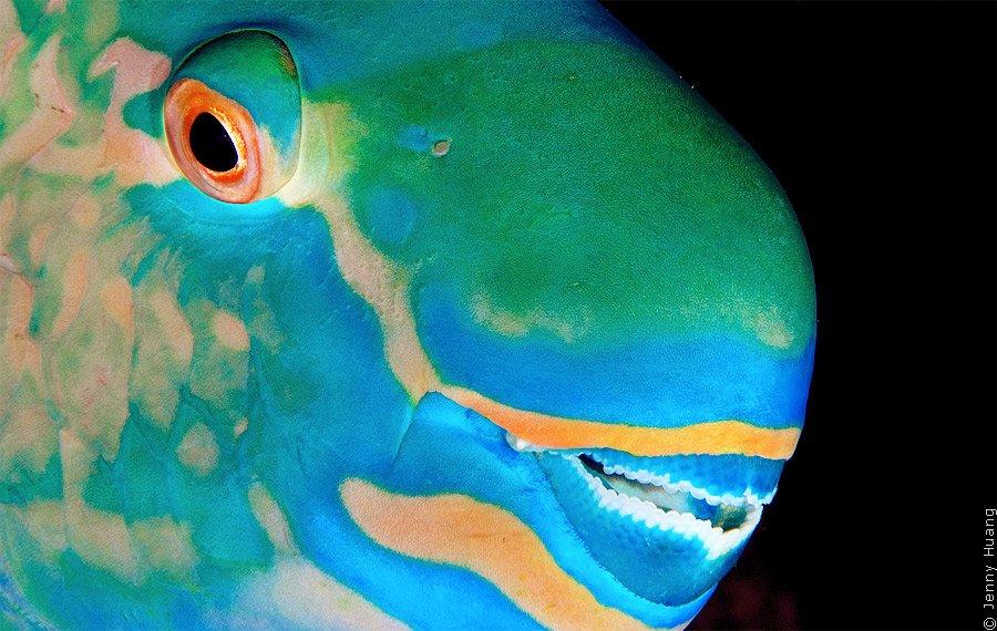 Рифовая рыба-попугай