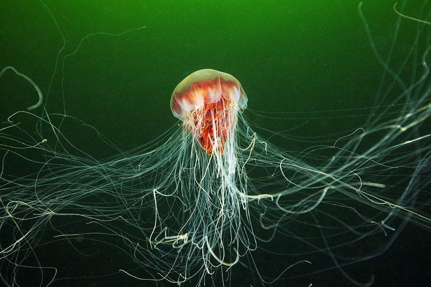 Medusa da juba do leão