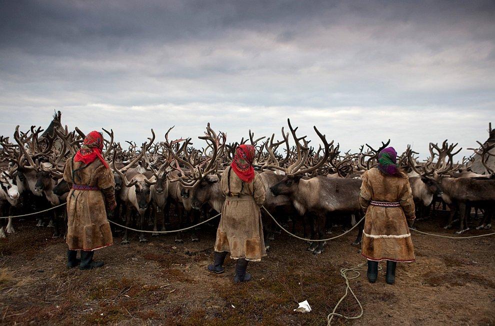 Полуостров Ямал — олений край в Западной Сибири