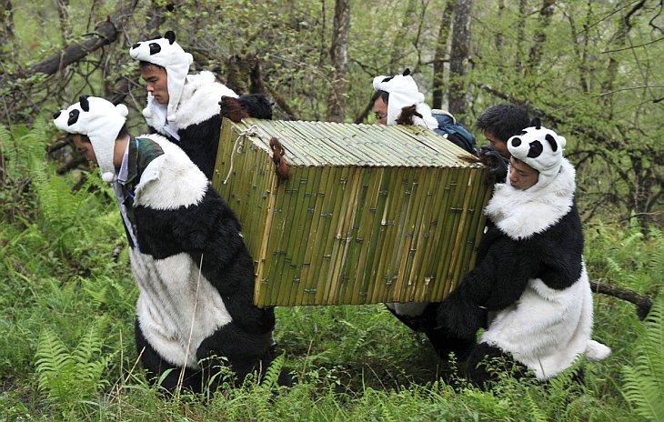Ученые в костюмах переносят переносят 21-месячную большую панду Тао Тао
