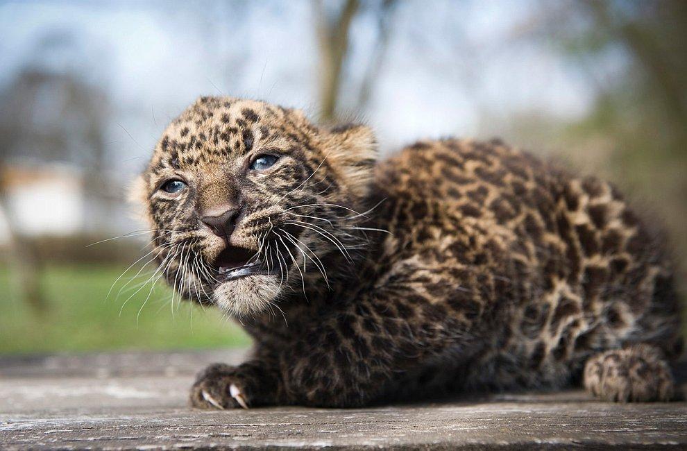 4-недельный леопардик