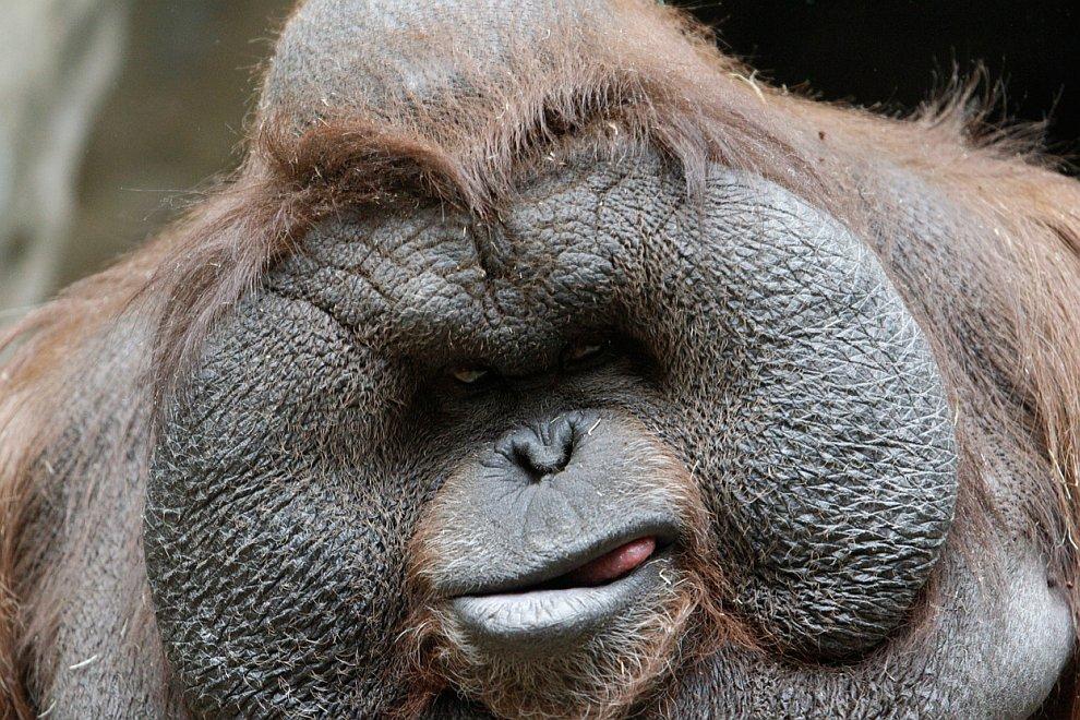 Брутальный орангутанг