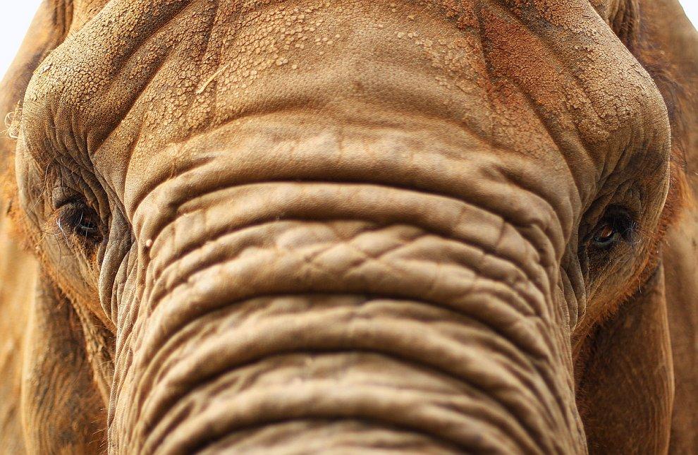 Слониха по кличке «Милашка»