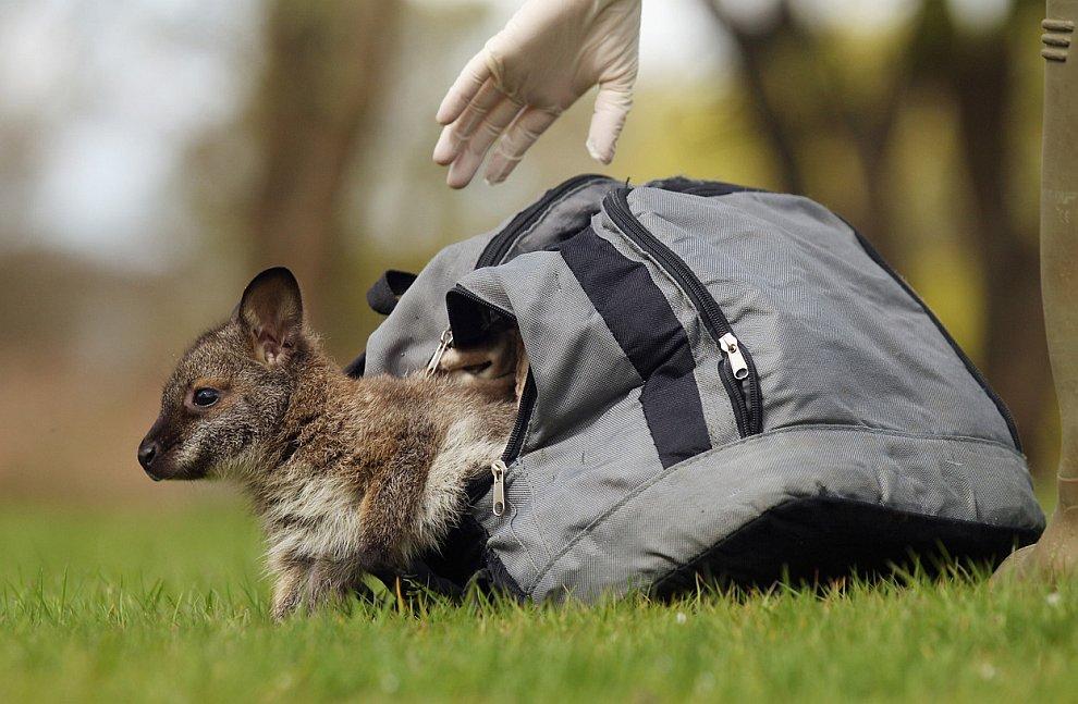 Осиротевший кенгуренок