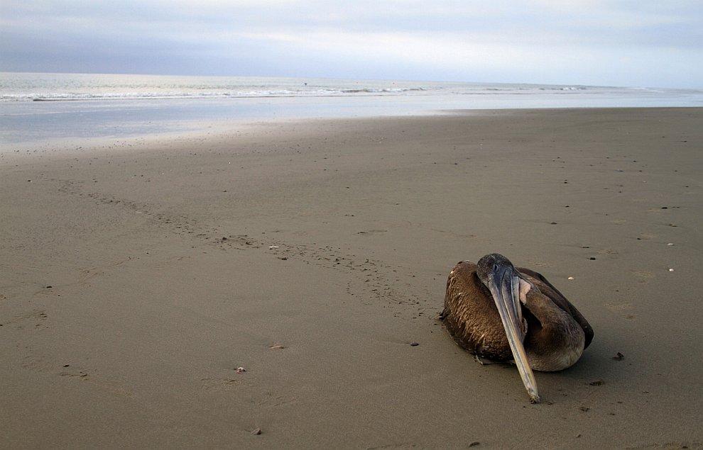Умирающий пеликан