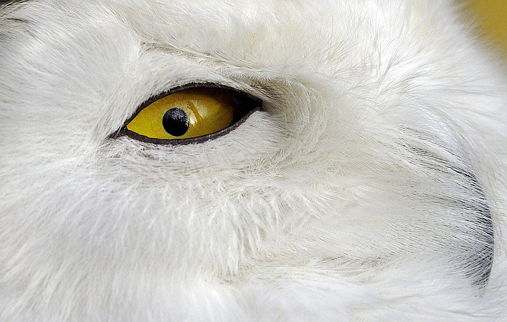 Полярная сова
