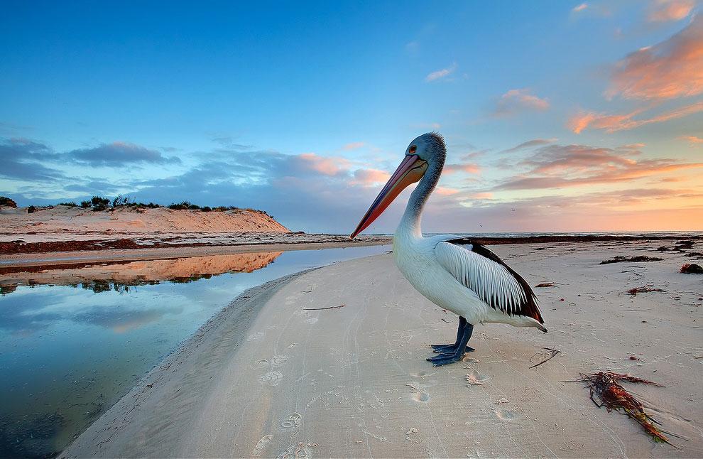 Пеликан на реке Торренс