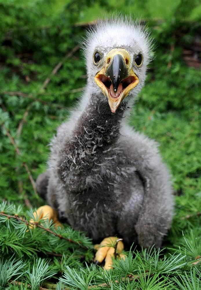 Маленький орлан