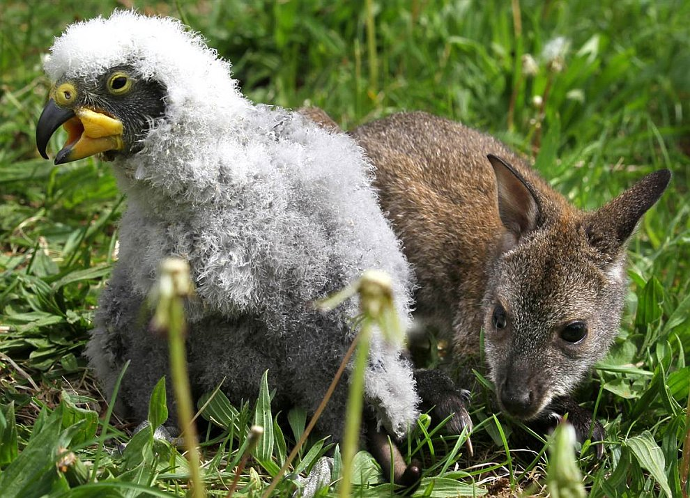 3-месячный кенгуру и кеа