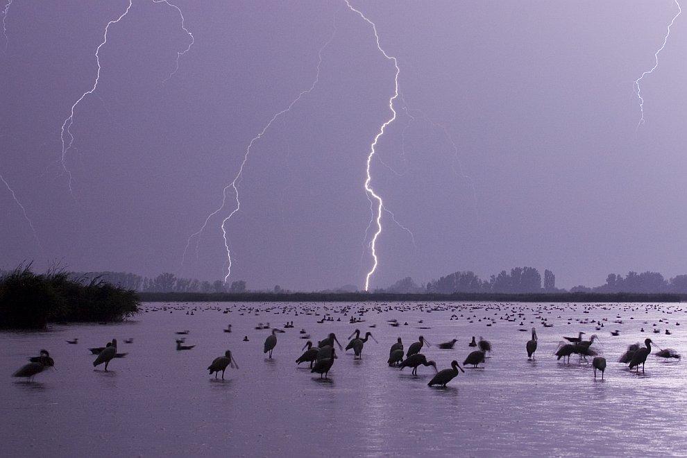Молнии над озером с пеликанами и другими птицами