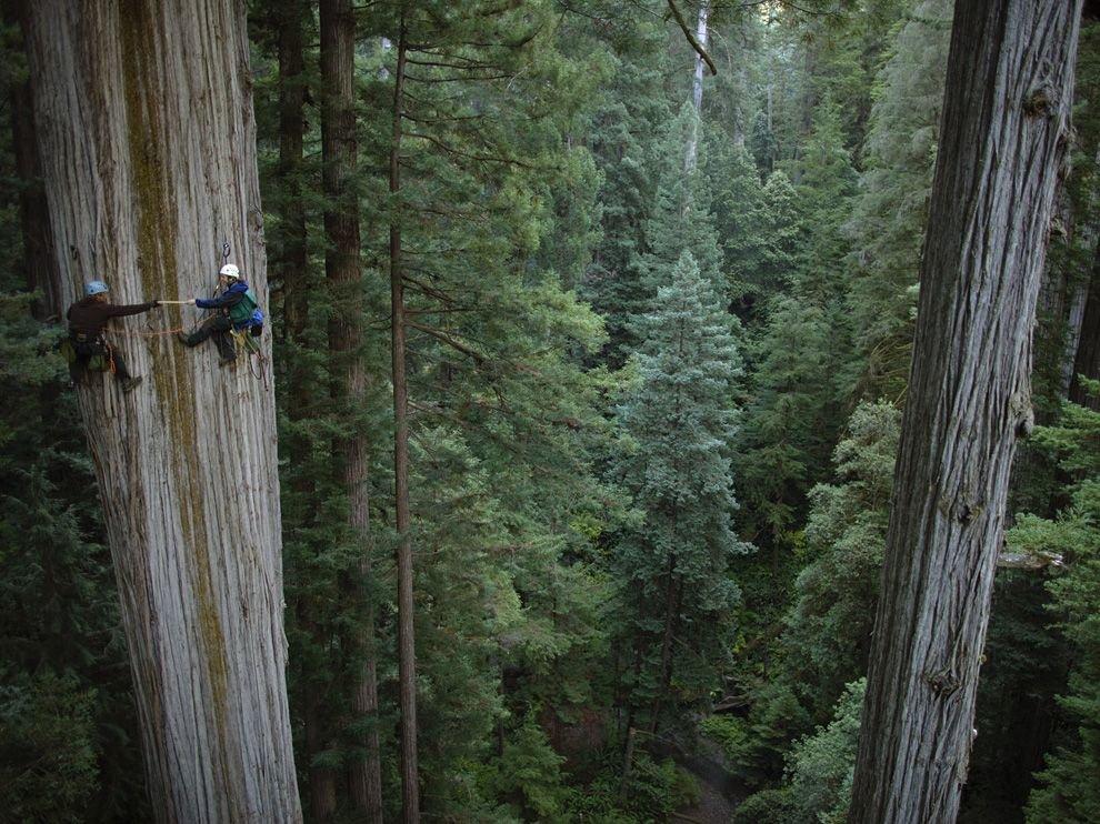 Гигантские секвойи в Калифорнии
