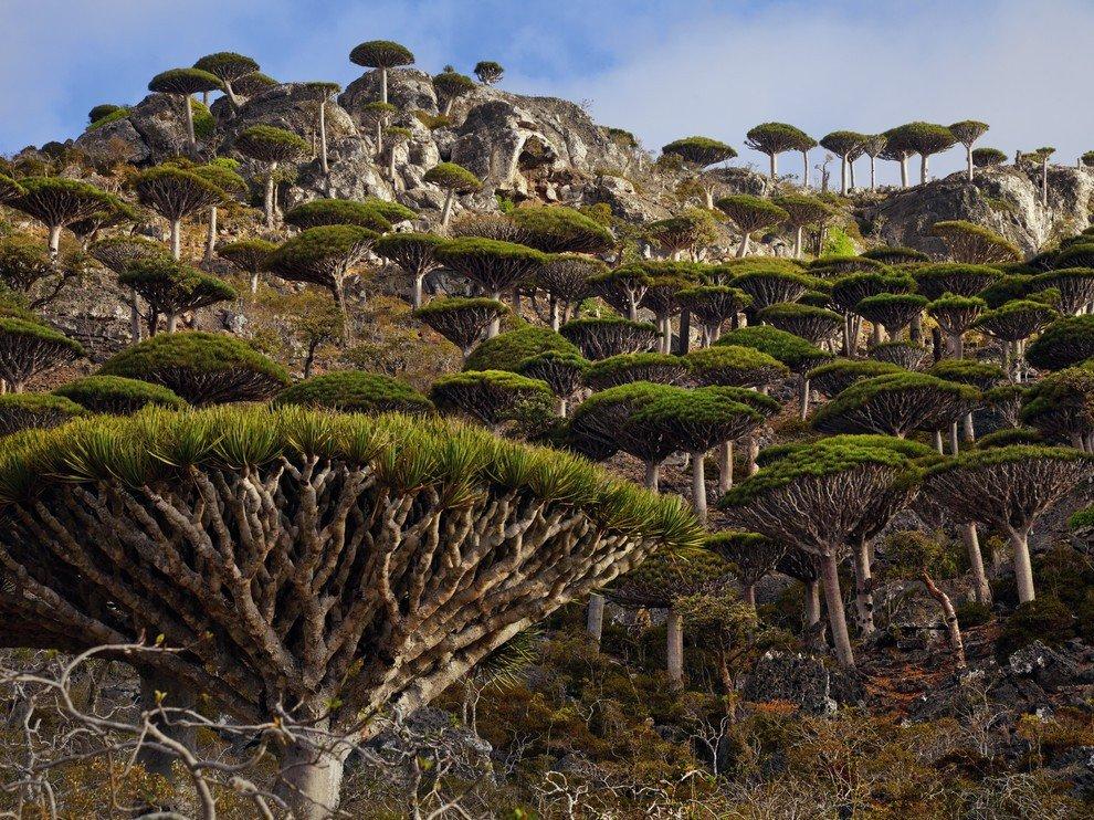 Лес драконовых деревьев