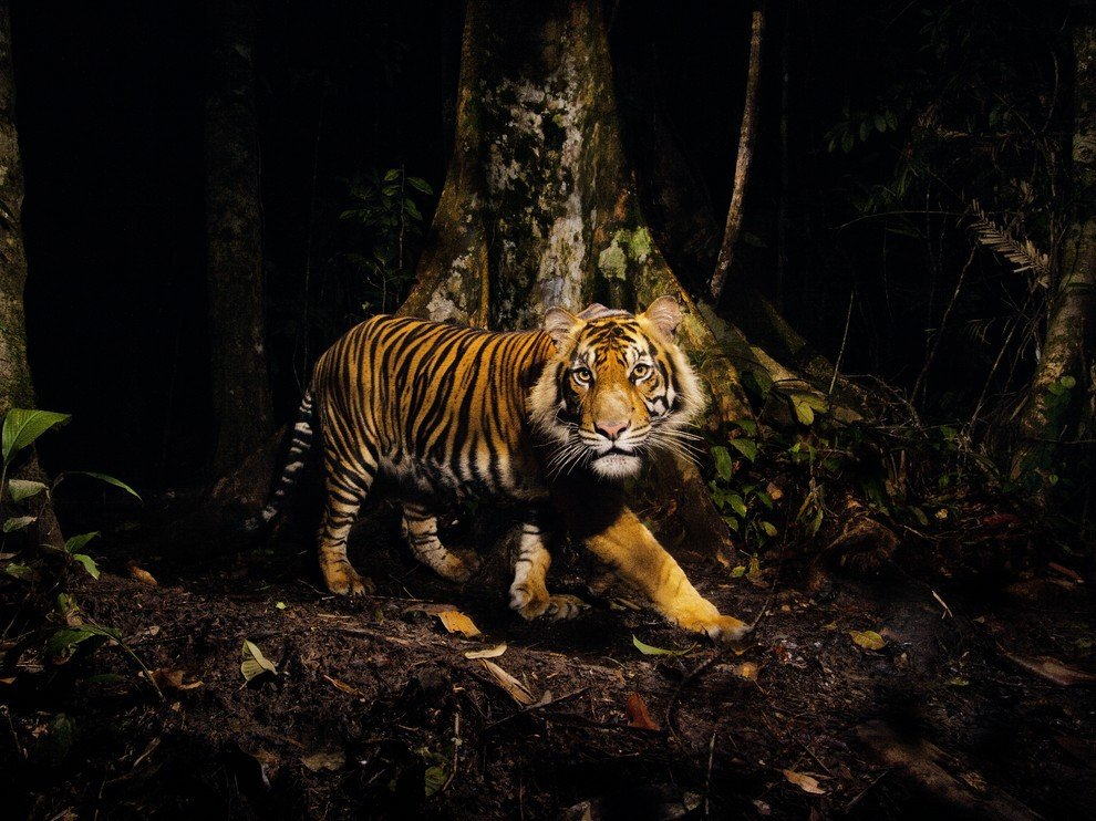 Тигр, Индонезия