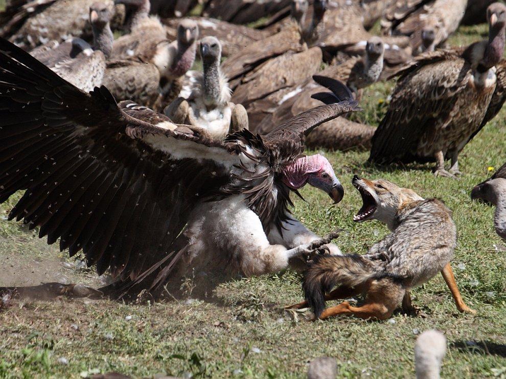 Атака ушастого грифа на шакала