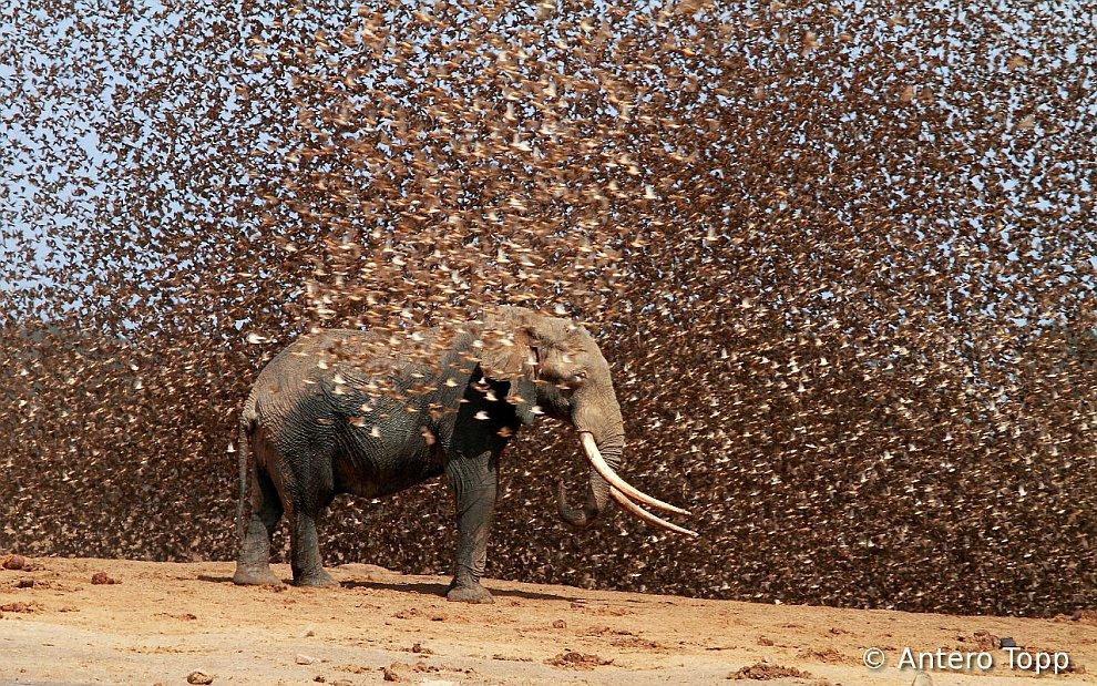 Огромная стая красноклювых ткачиков и африканский слон