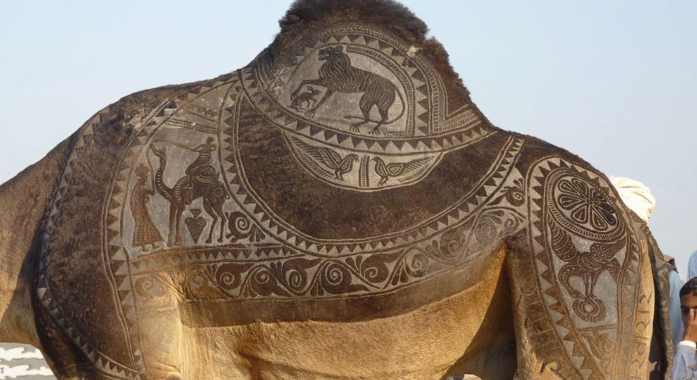 Конкурс красоты у верблюдов