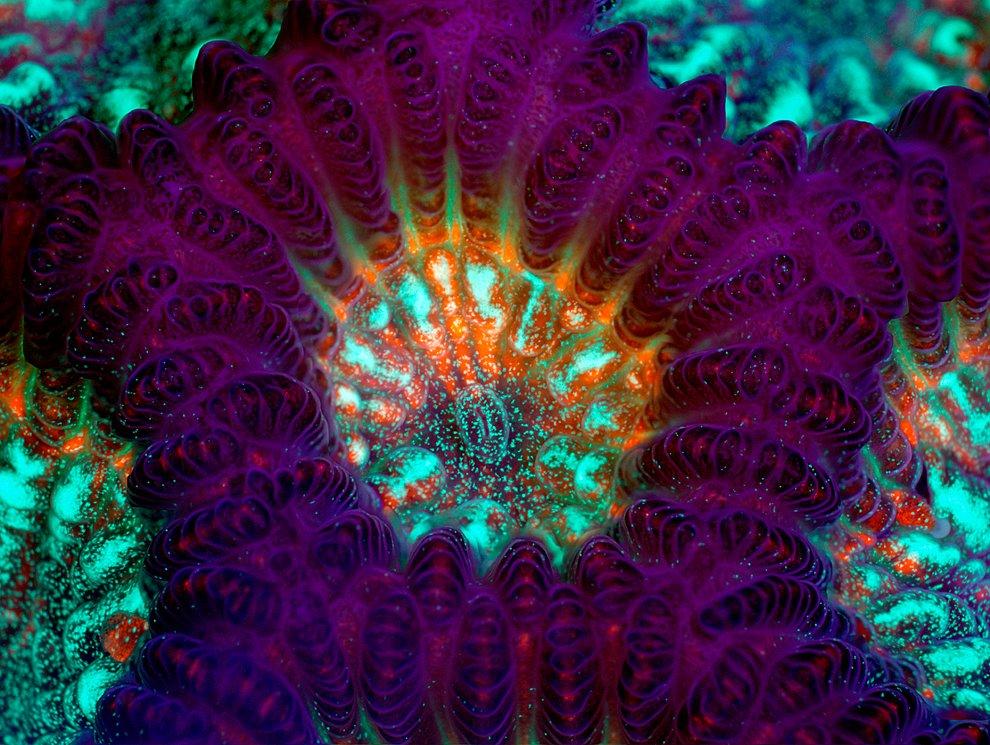 Коралл гониастрея