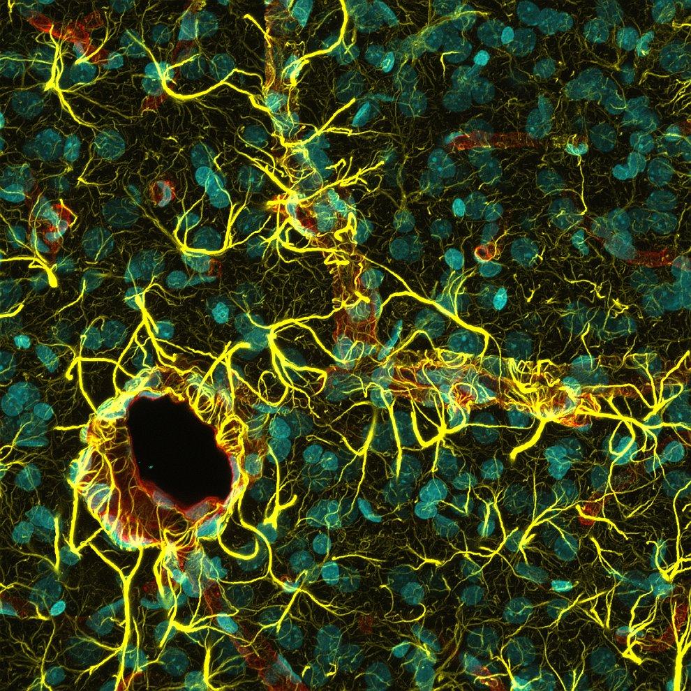 Кора головного мозга крысы