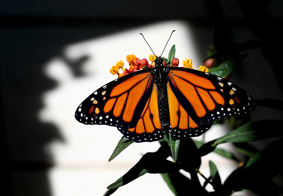 Появление бабочки монарха