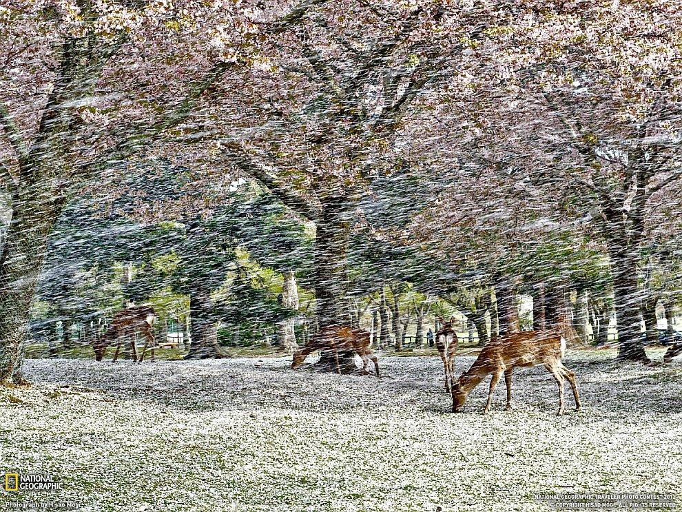 Падение лепестков, Япония