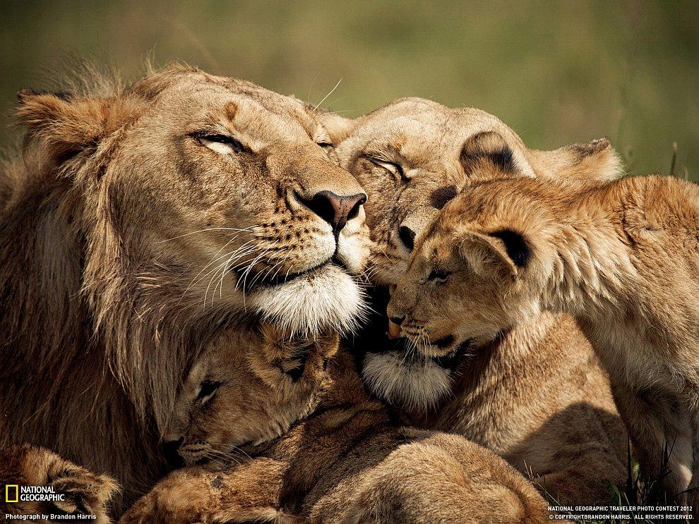 Львиная семья, Кения