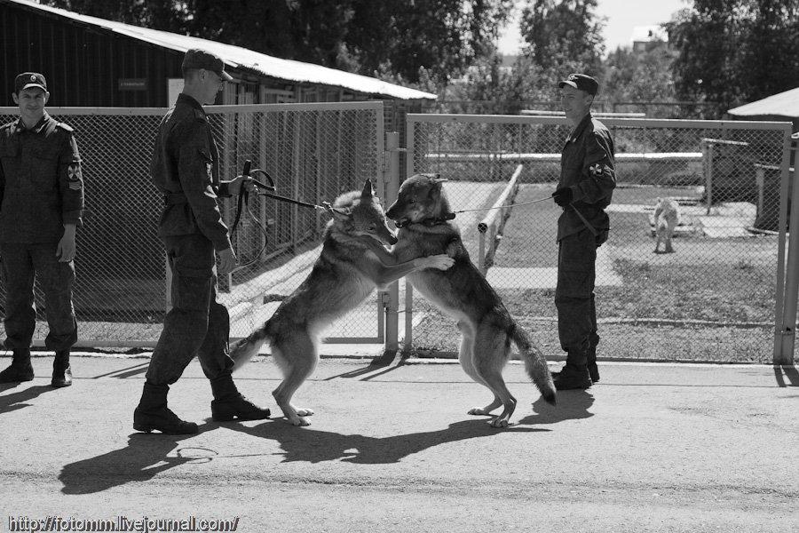 Волчья кровь: пермские волкособы