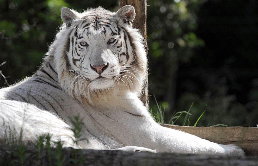 Редкий белый тигр