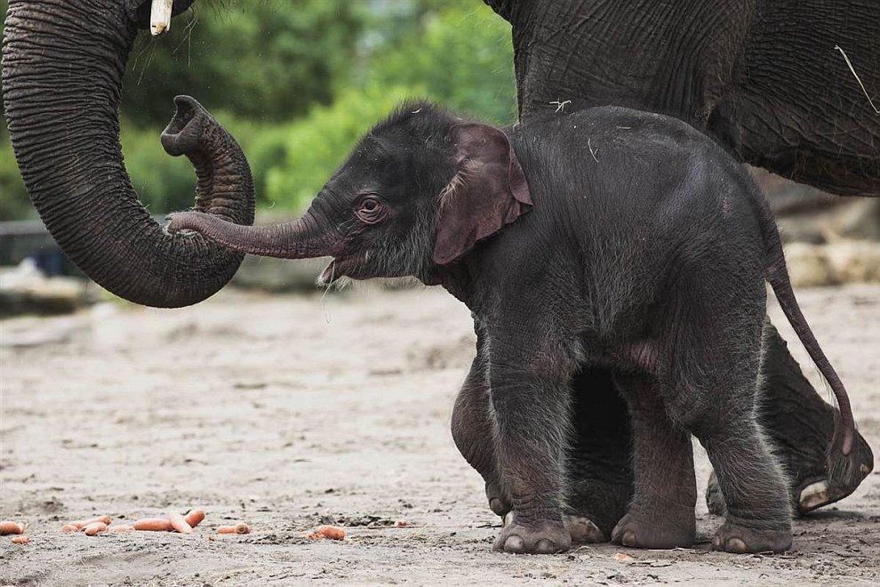 6-дневный слоненок из зоопарка в Берлине