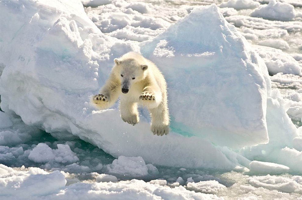 Редкий кадр, запечатлевший в полете белого медведя