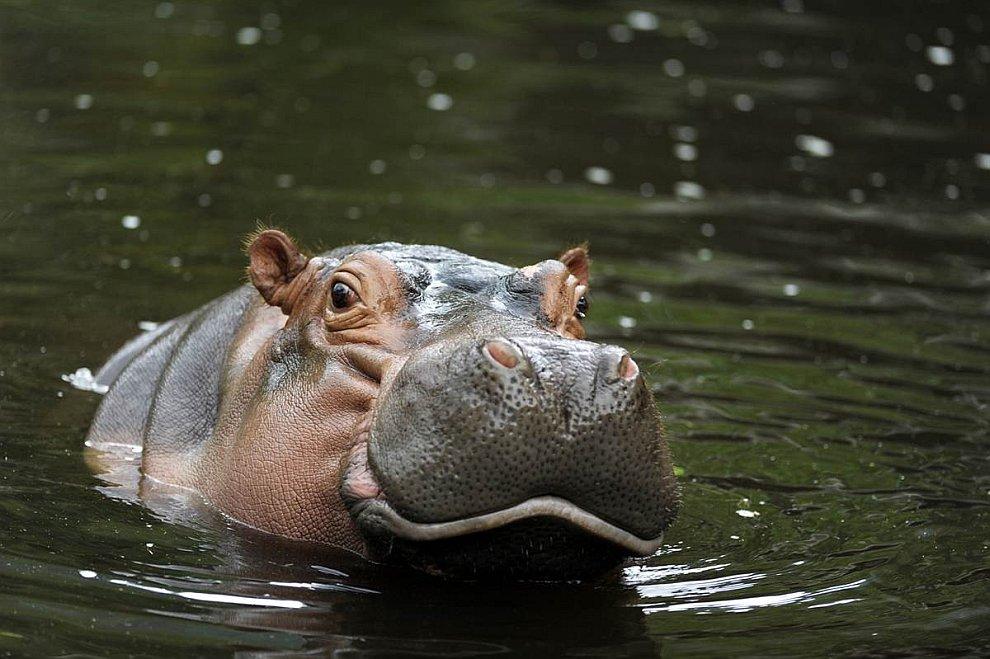 Бегемот обыкновенный