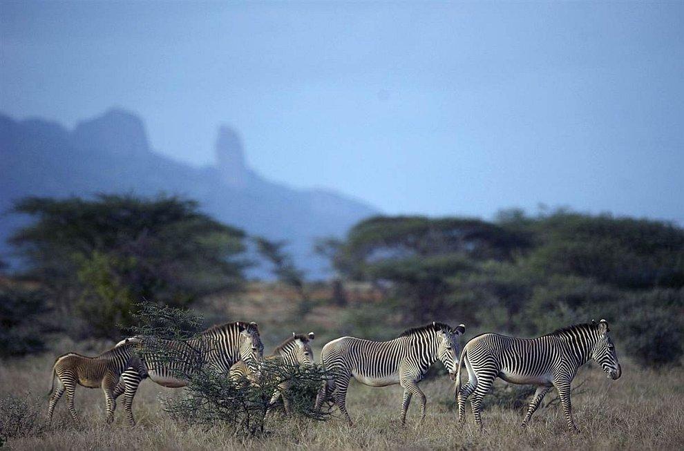 Зебры Греви