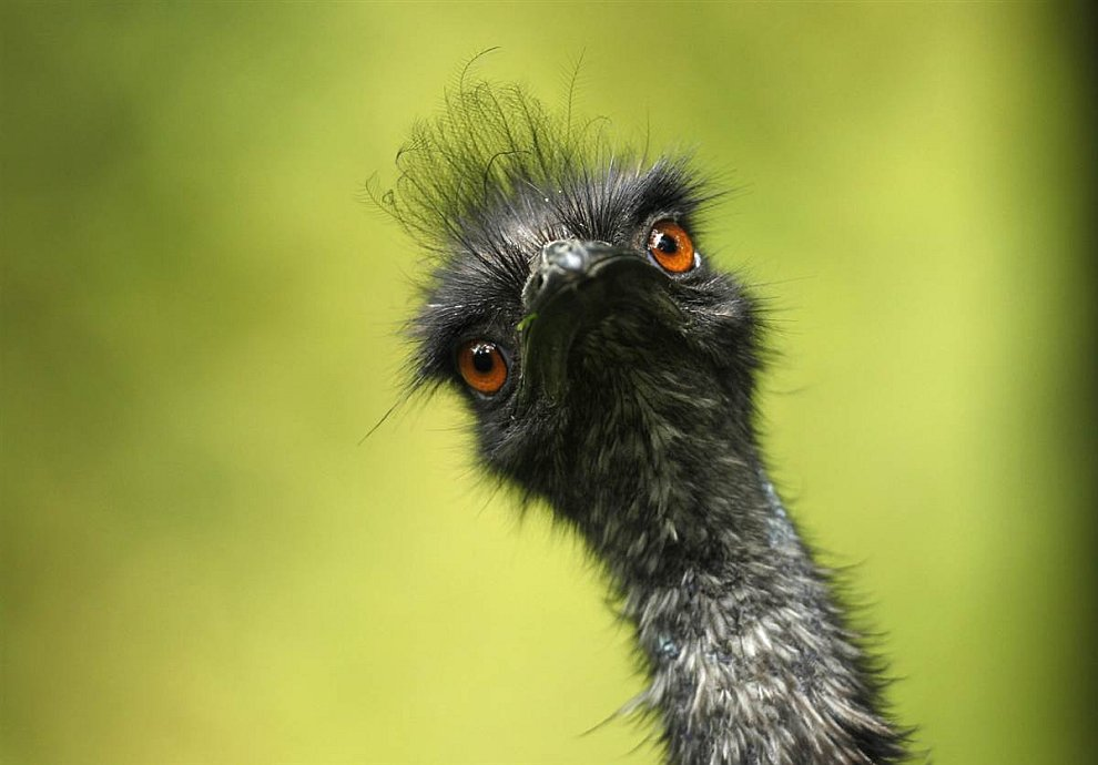Любопытный страус