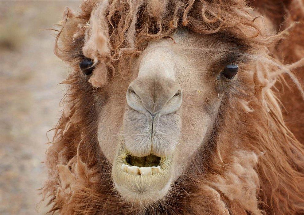 Домашний верблюд