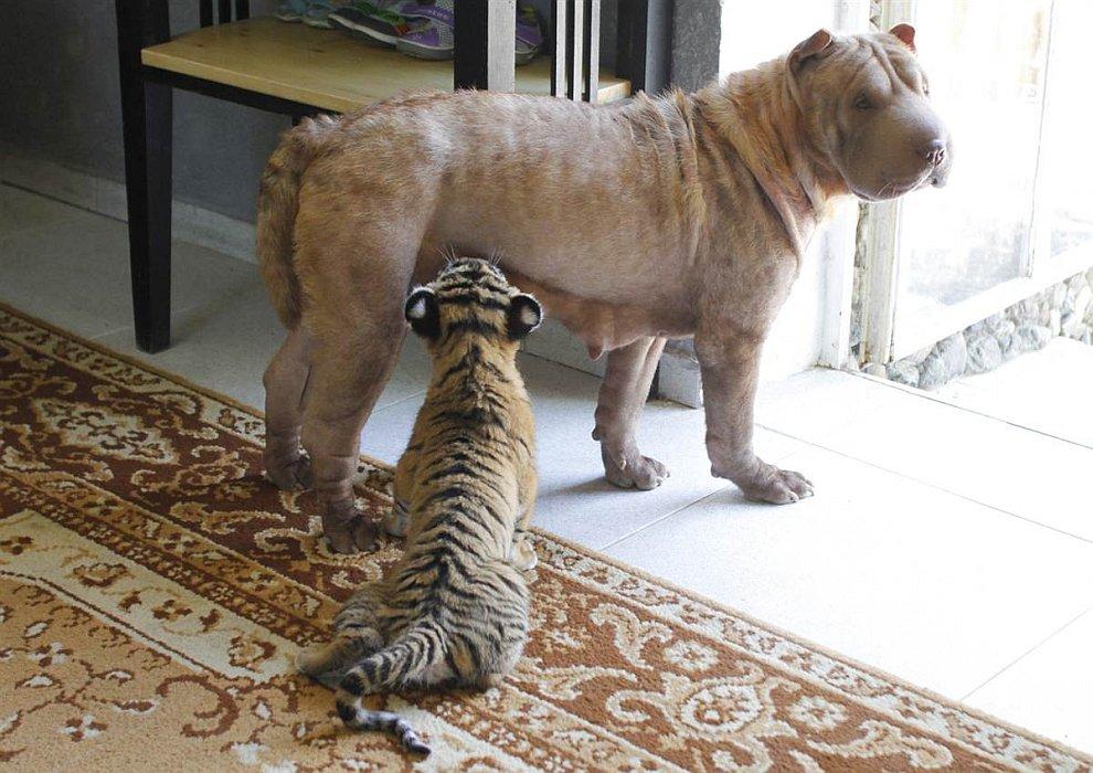 В начале июля Шарпей Клеопатра стала приемной мамой для новорожденных уссурийских тигрят