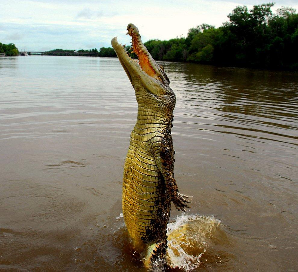 В случае необходимости, крокодилы могут вертикально выпрыгивать из воды на 2-метровую высоту